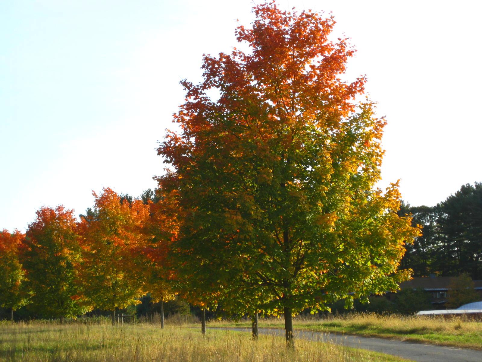 Traffic light trees 2 10-12-2008